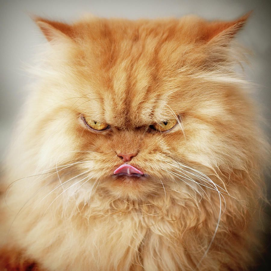 Wonky Pooh Is An Orange Persian Cat In Agatha Christie S Novel Easy To Kill 1938 Photo By Hulya Ozkok Angry Cat Grumpy Cat Persian Cat