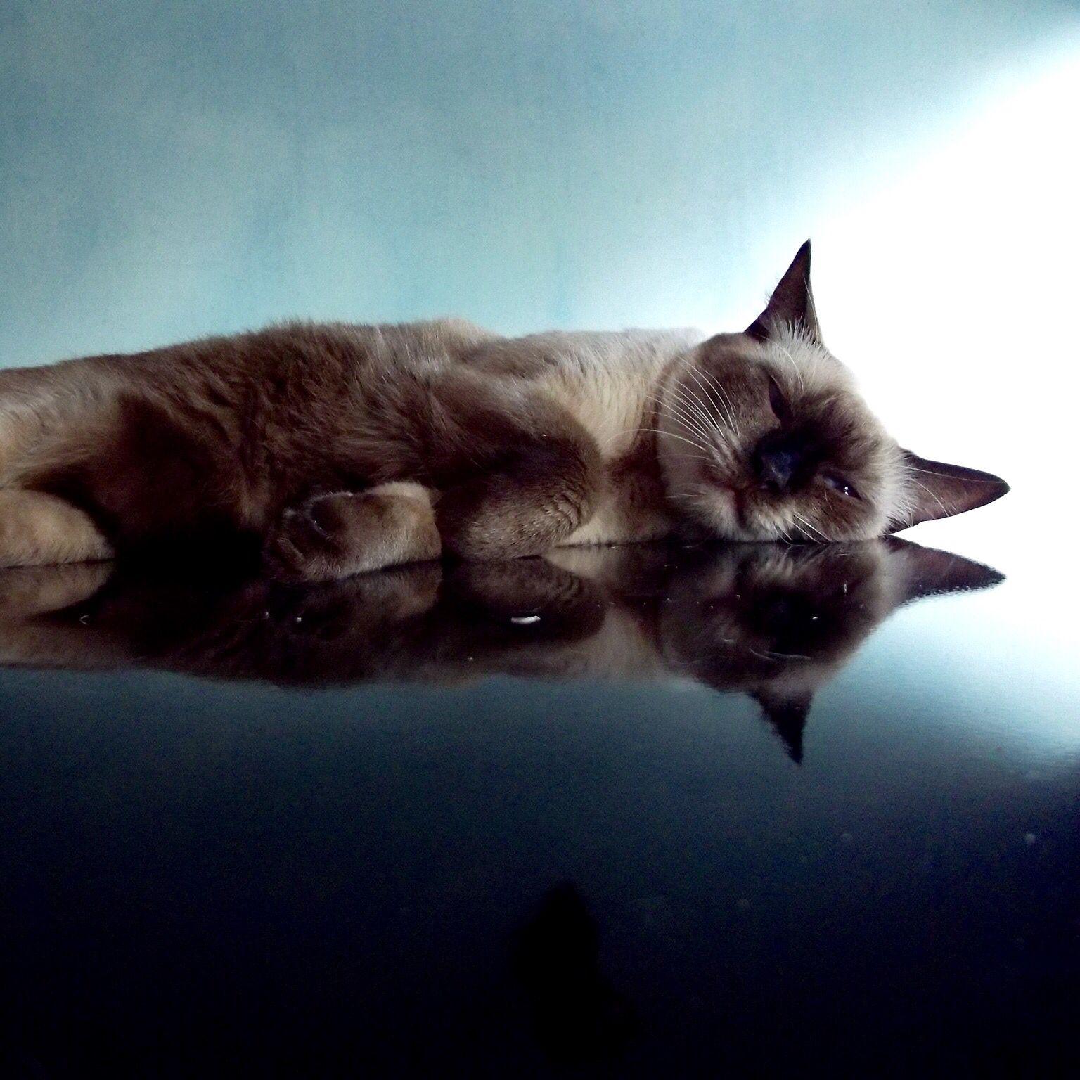 Сеамская кошка   Смешные фотографии кошек, Кошки и котята ...