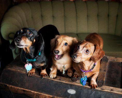 [9+] Binghamton Labrador Dog Puppy For Sale Or Adoption Near Me