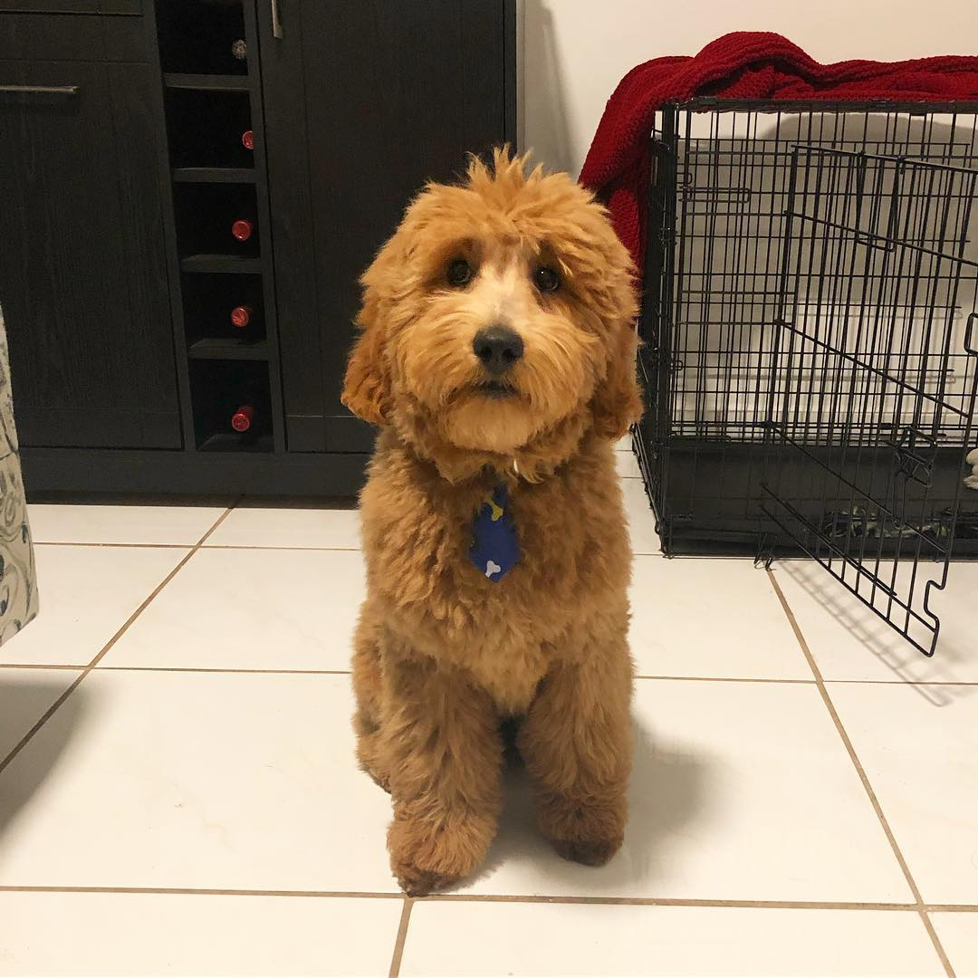 Customer Highlight Reese the Mini Goldendoodle makes