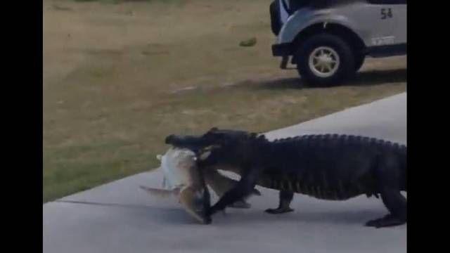 Florida Gator With Big Fish In Mouth Walks Across Golf Course Wjax Tv Golf Courses Florida Gators Big Fish