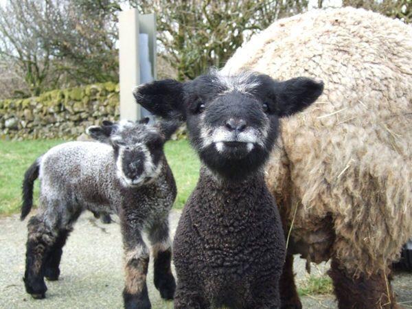 Insolite agneau dent tache vampire 03 dr les pinterest - Image mouton humoristique ...