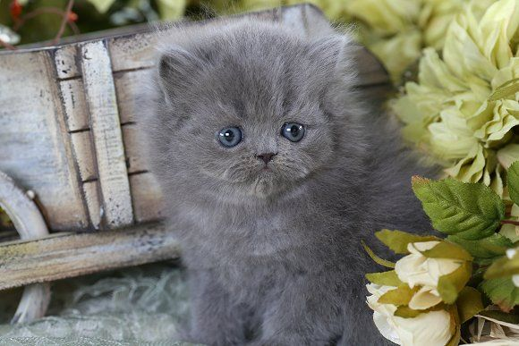 Solid Blue Teacup Persian Kitten Grey Kitten Persian Kittens Cute Cats And Dogs