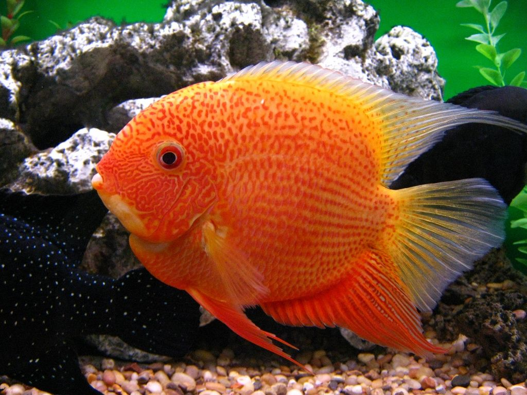 Red Severum | Cichlids | Pinterest | Fish, Aquariums and Tropical fish