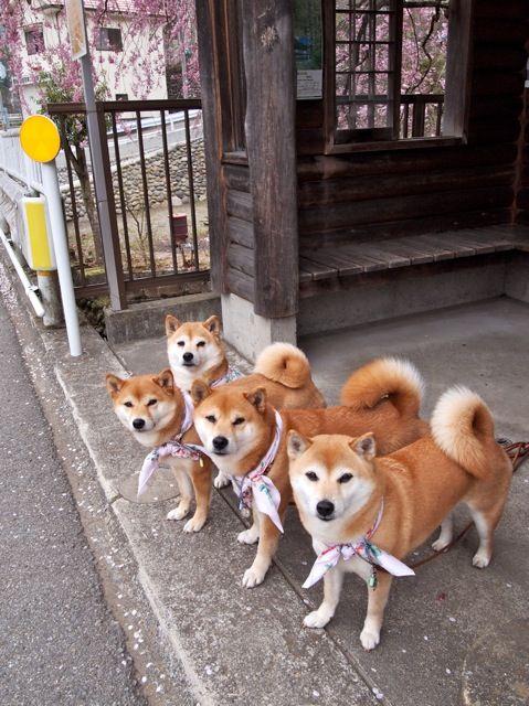 Shibainu 子犬 かわいい かわいいペット 柴犬