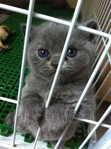 Make british blue shorthair kitten for sale 2500 FOR SALE