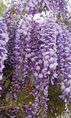 Flowering Japanese Wisteria Bonsai Tree Wisteria Floribunda Wisteria Bonsai Bonsai Tree Flowers