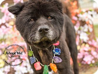 California Urgent Id 13 27126 Is An Adoptable Chow Chow Puppy