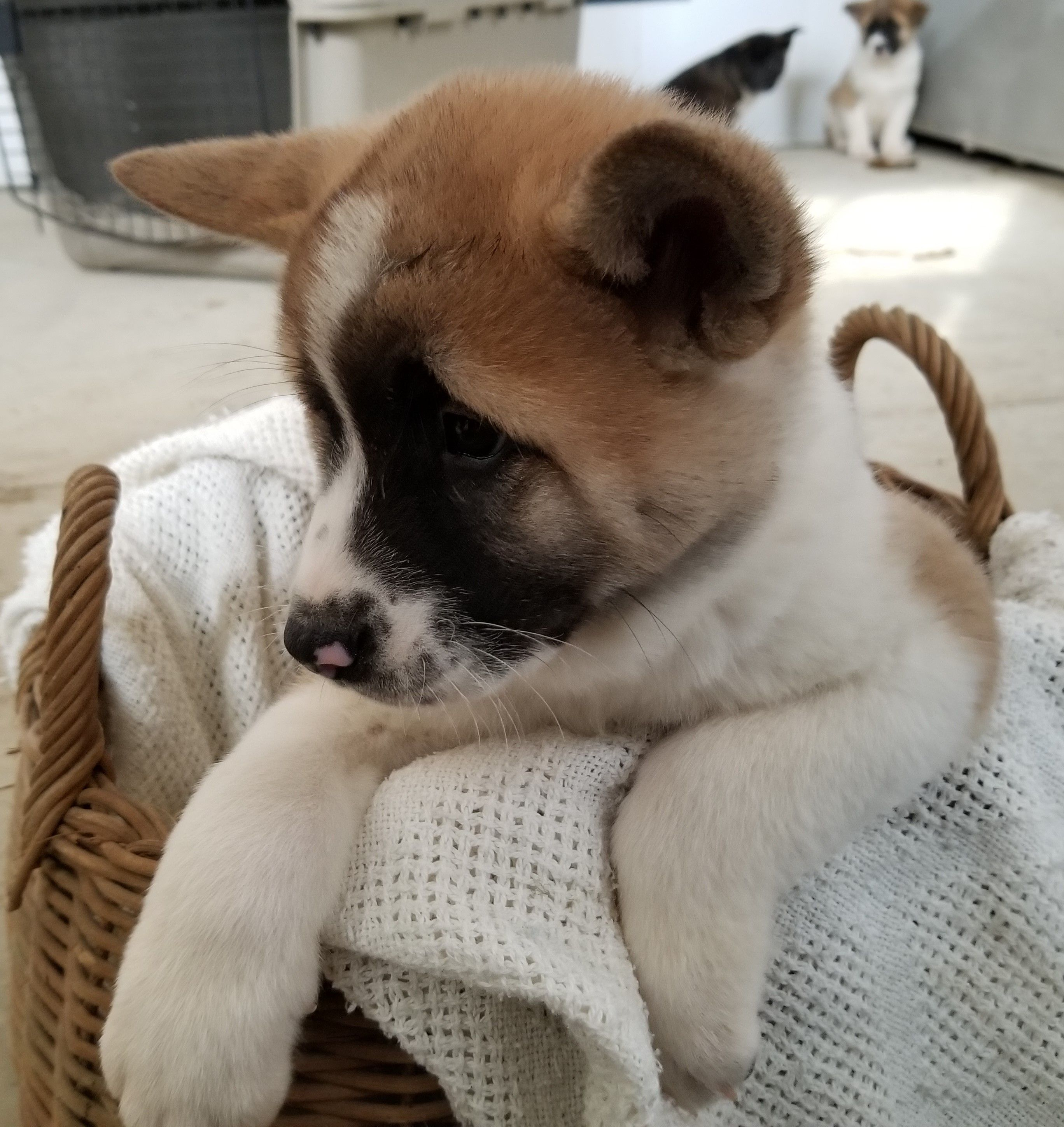 Phineas ACA American Akita male puppy for sale at Union