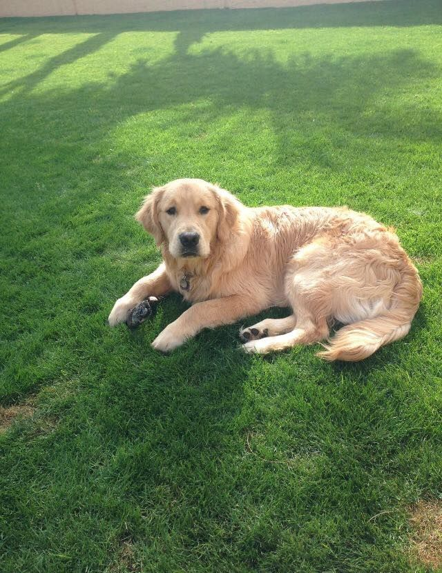 Pin by Copper State Goldens on Our Puppies Growing Up in