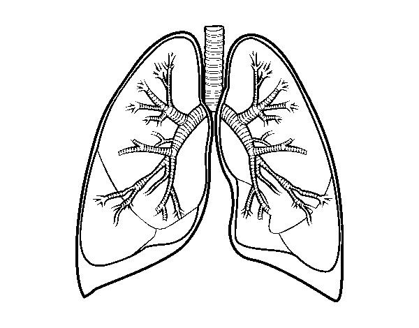 Http Cd1 Dibujos Net Dibujos Pintar Pulmones Y Bronquios Png Pulmones Dibujos Regalos Creativos Para Novio
