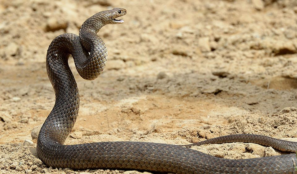 Top 10 most venomous animals in Australia Australia