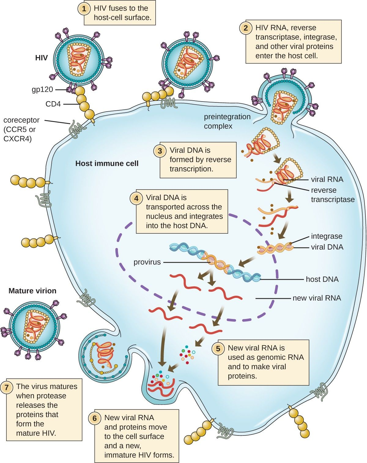 The HIV viral cycle. Step 1: the HIV fuses to the host-cell surface ...