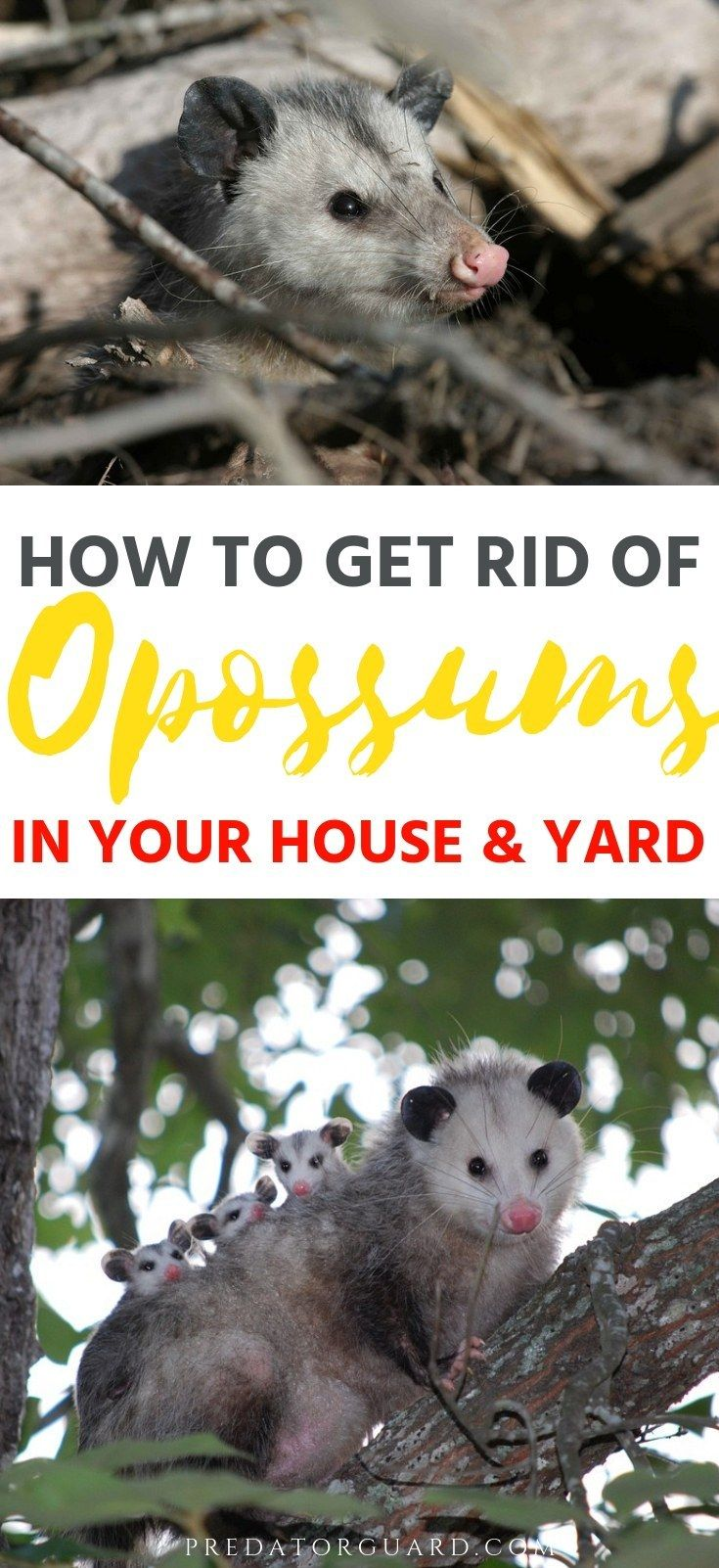 How to get rid of opossums in your house and yard