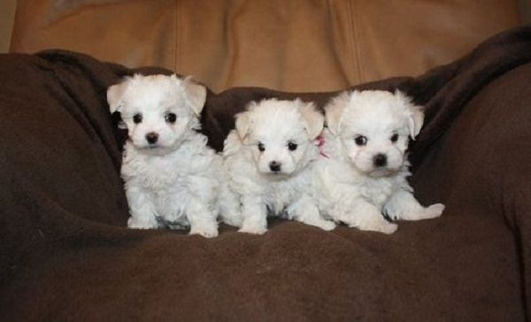 Teacup Maltese Puppies For Sale Uk Zoe Fans Blog Teacup