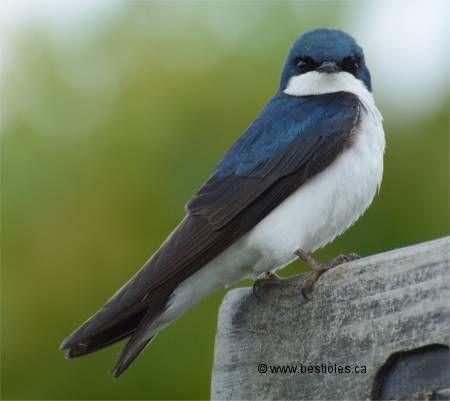 Hirondelle bicolore mâle