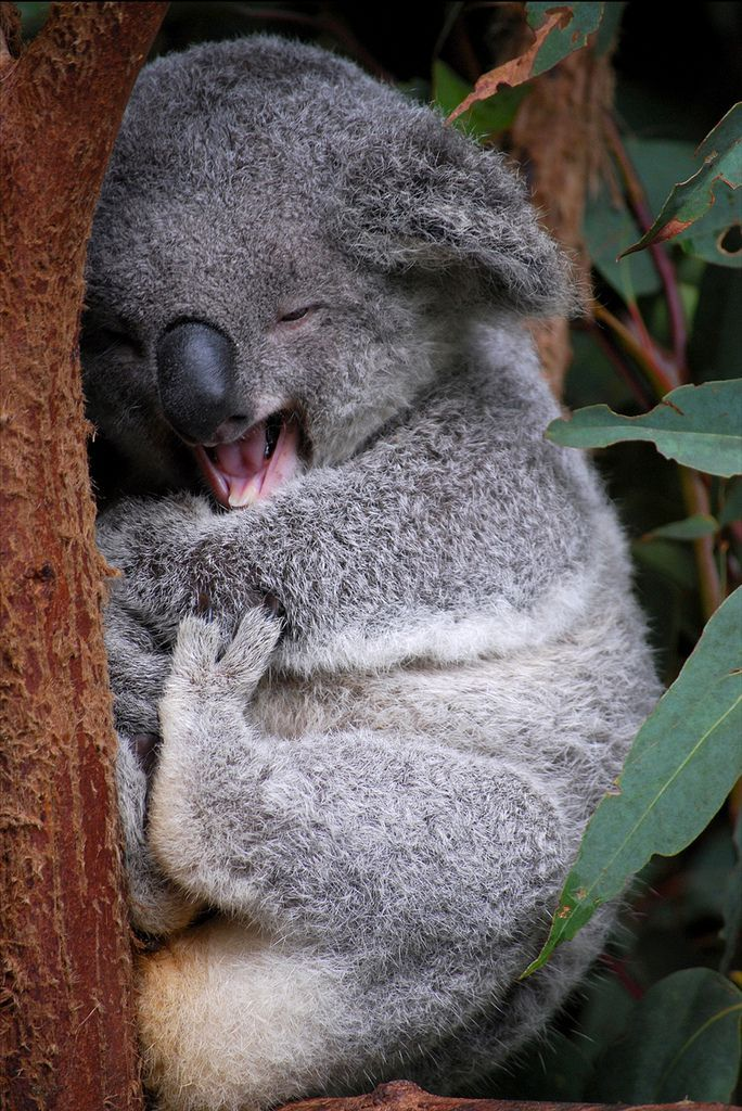Koala numbers reached a low point in the 1930s, when