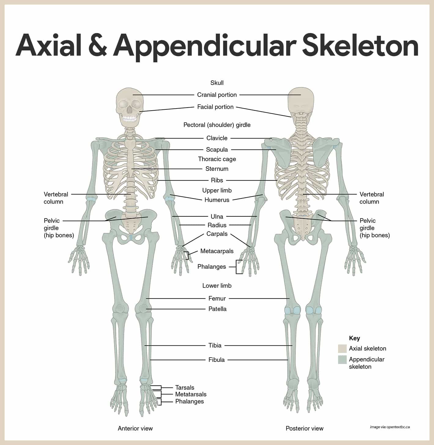 skeletal system anatomy and physiology skeletal system and