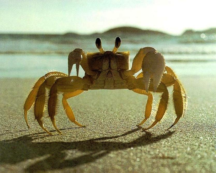 Yellow Fiddler Crab On Beach