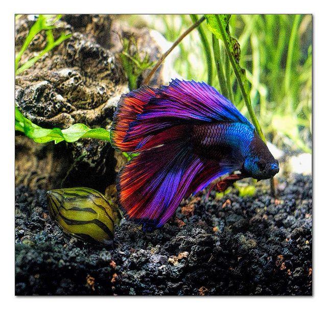Siamese fighting fish multi color double tail male betta for Multiple betta fish tank