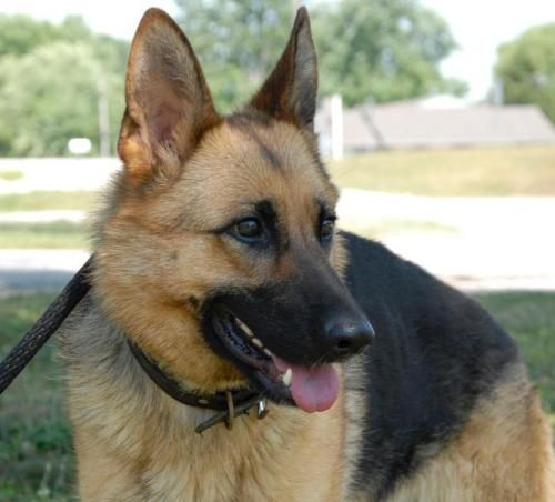 Hawk Is A Female Purebred Gsd Petite At 55lbs And 1 5 Years Of