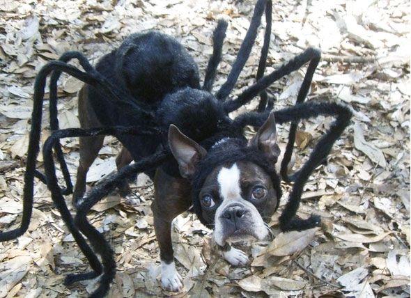 Tarantula Spider Dog Costume Dog Halloween Costumes Spider Dog