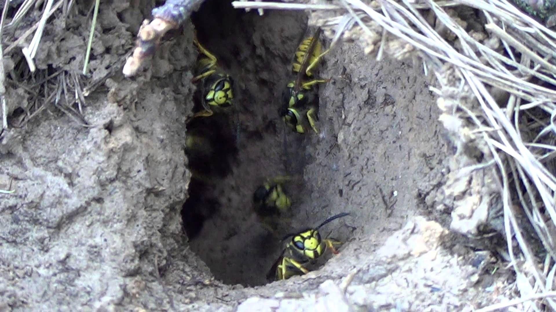 энтомофаги -  гнездо ос веспид