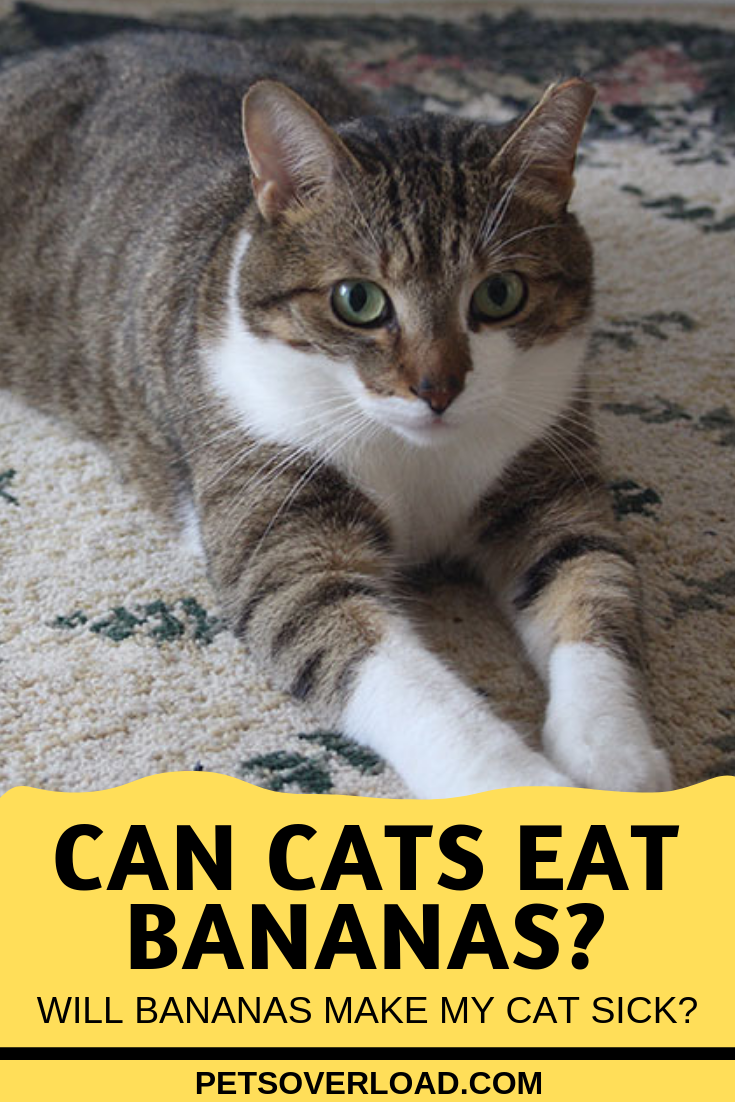 Can Cats Eat Bananas Are Bananas Good For Cats Are They Toxic Cats Pet Care Pets