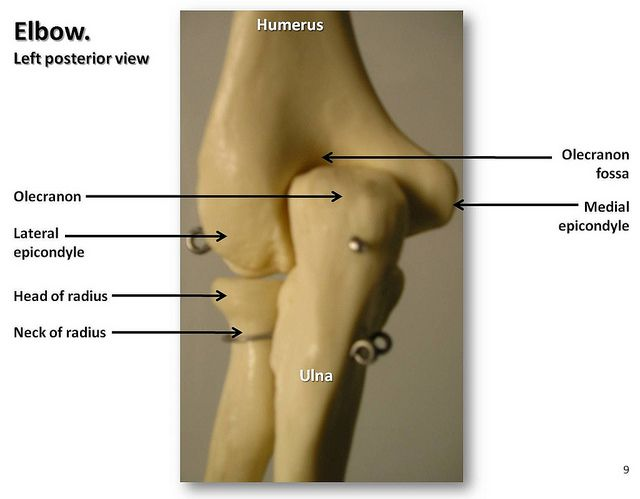 Bones Of The Elbow Posterior View With Labels Appendicular