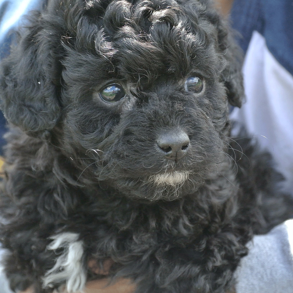 Cute Aussiedoodle Puppy For Sale Aussie Puppies Australian