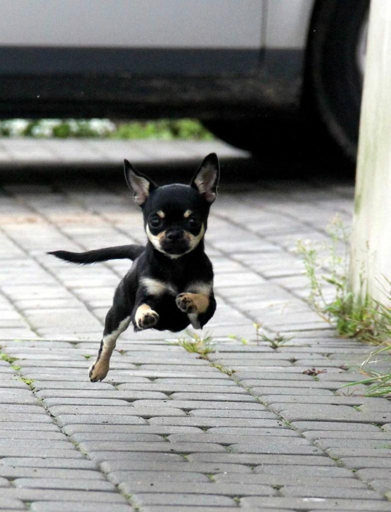Chihuahua Pelo Corto On Gumtree Chihuahua Girl Pelo Corto