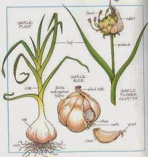 How To Start Garlic Farming Business Growing Garlic Planting