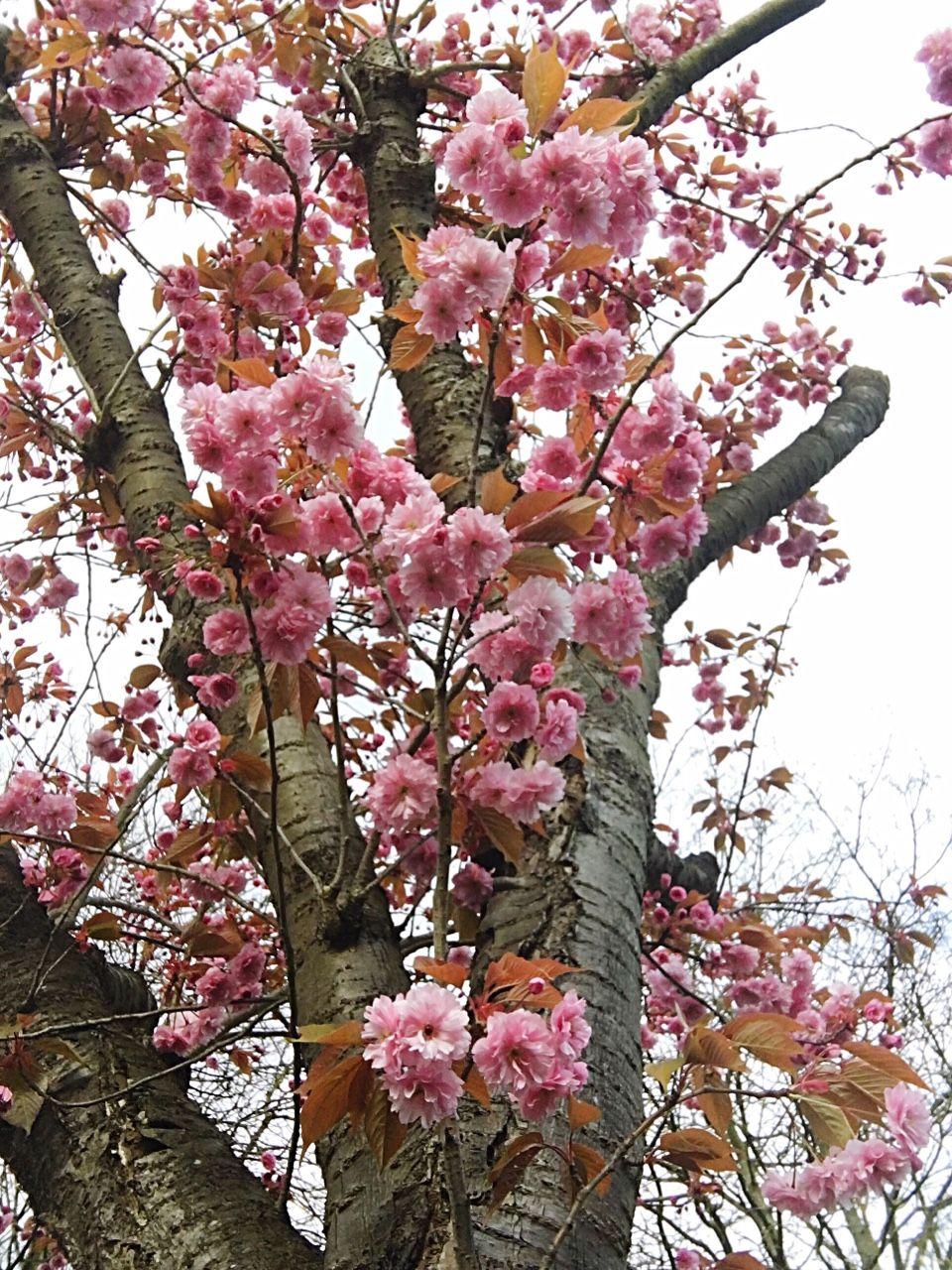 "shosamh: ""Cherry Blossom in my garden 🙏🏻 """