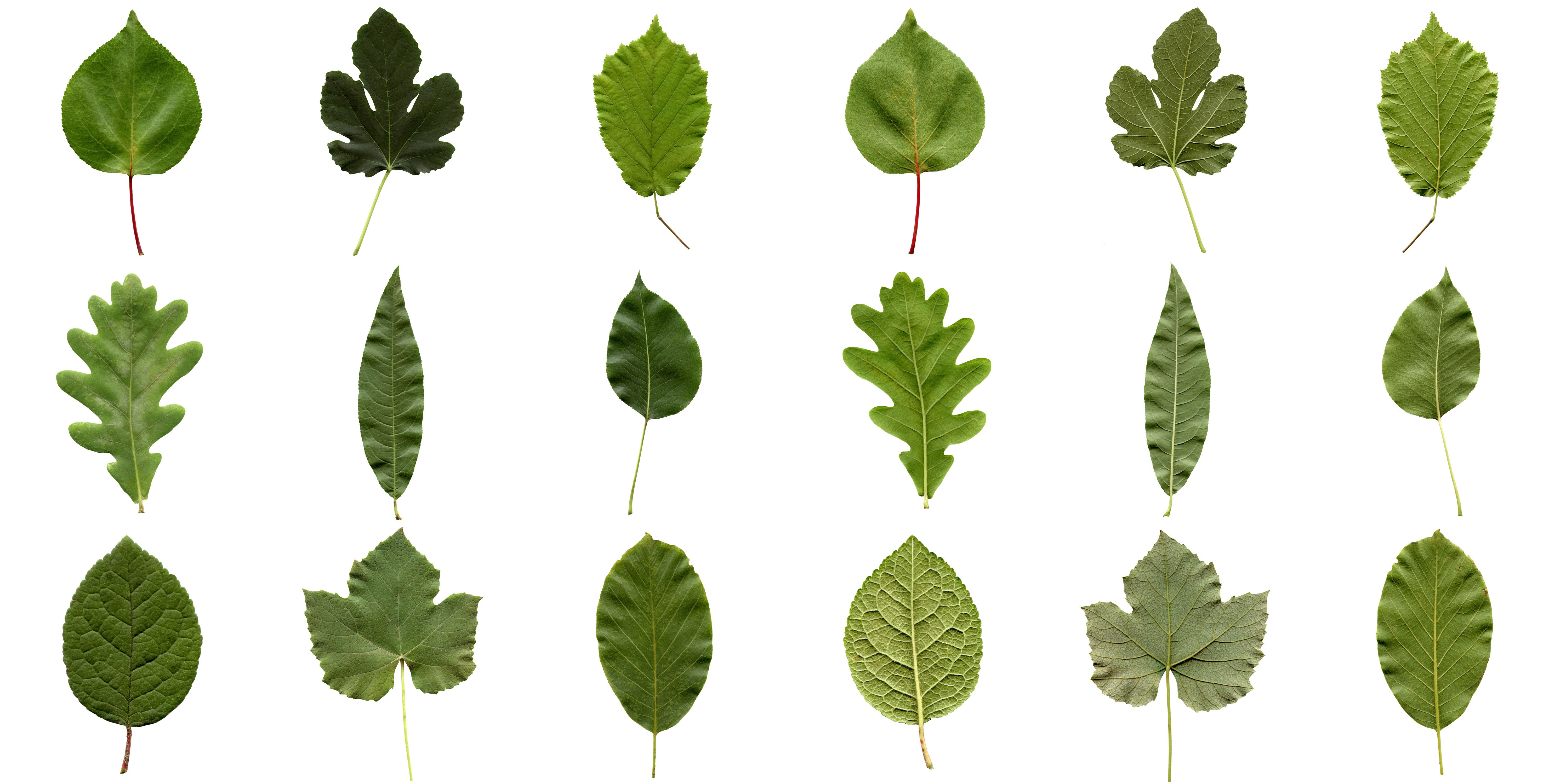 Why Do Leaves Have Such Different Shapes With Images