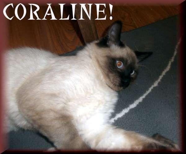 Siamese Available Siamese Rescue Siamese Cats