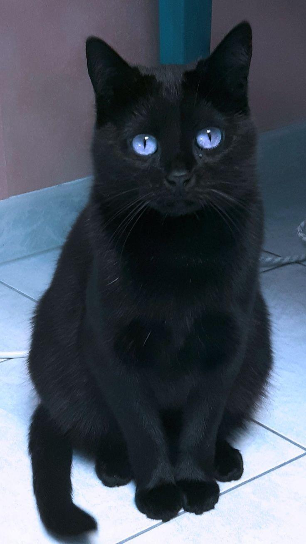 gato negro de ojos azules - Lustige Katzen