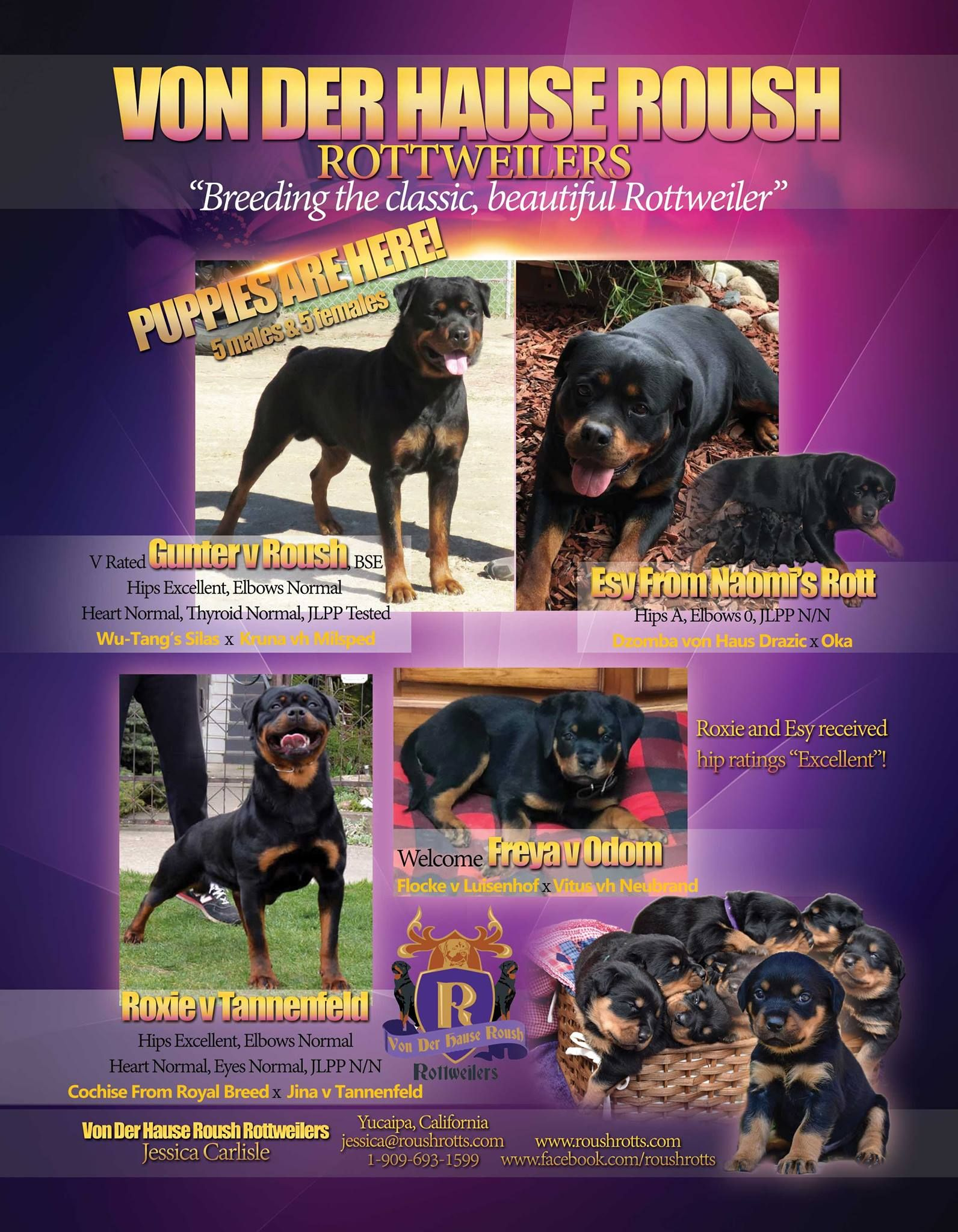 Total Rottweiler Magazine Rottweiler Rottweiler Breed Puppies