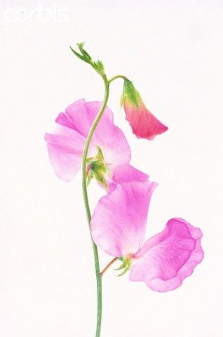 Sweet Pea David Adams Photography Watercolor Flowers Paintings
