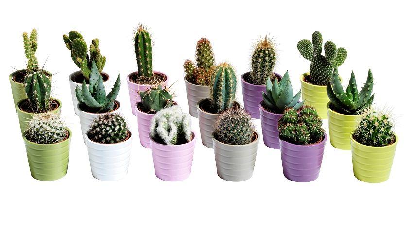 Macetas para cactus frida flores y cactus pinterest - Cactus en macetas pequenas ...