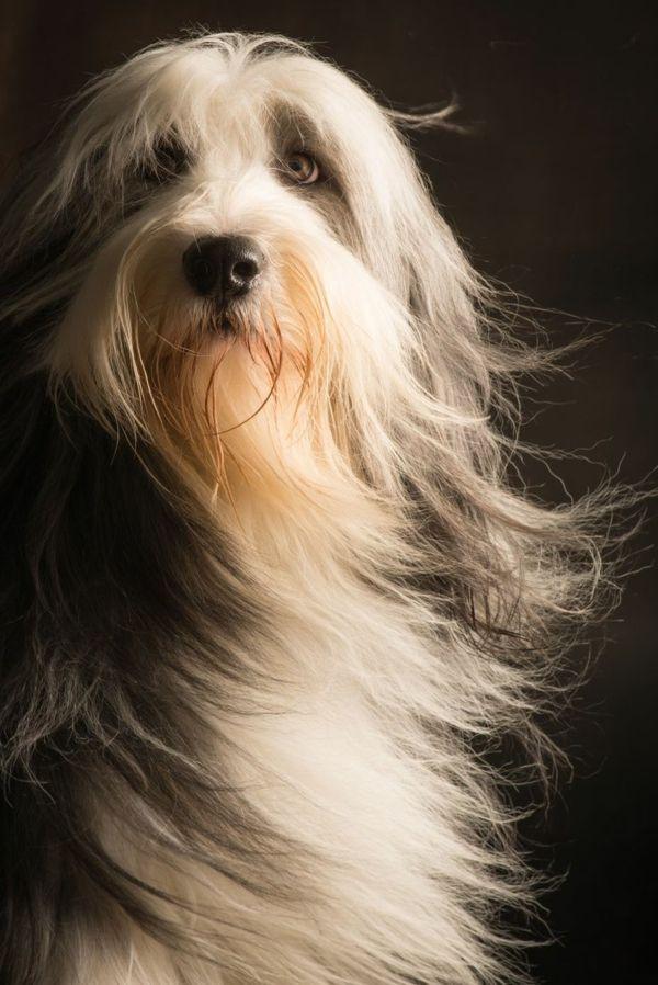 Hund Lange Haare