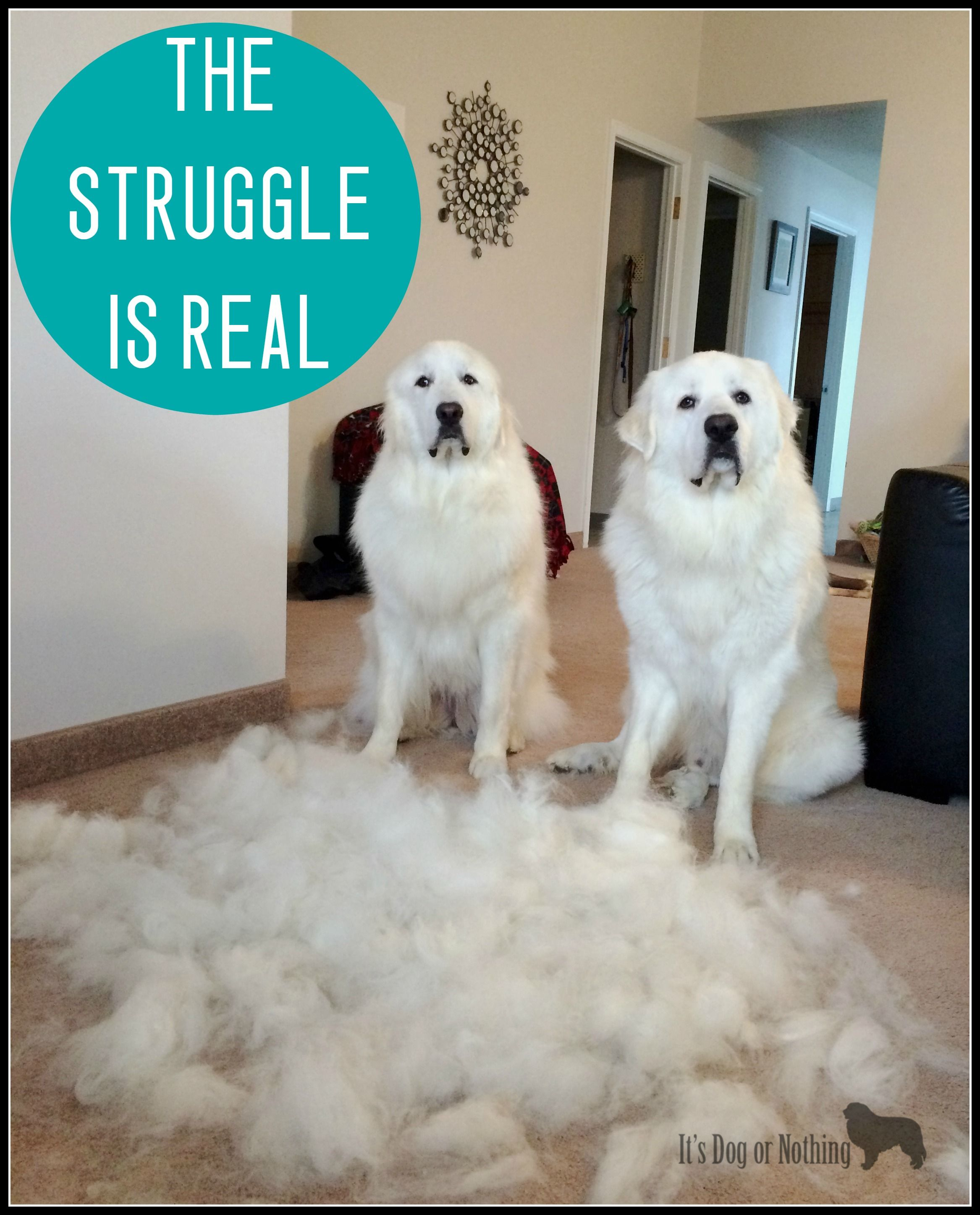 Managing The Undercoat Great Pyrenees Dog Great Pyrenees