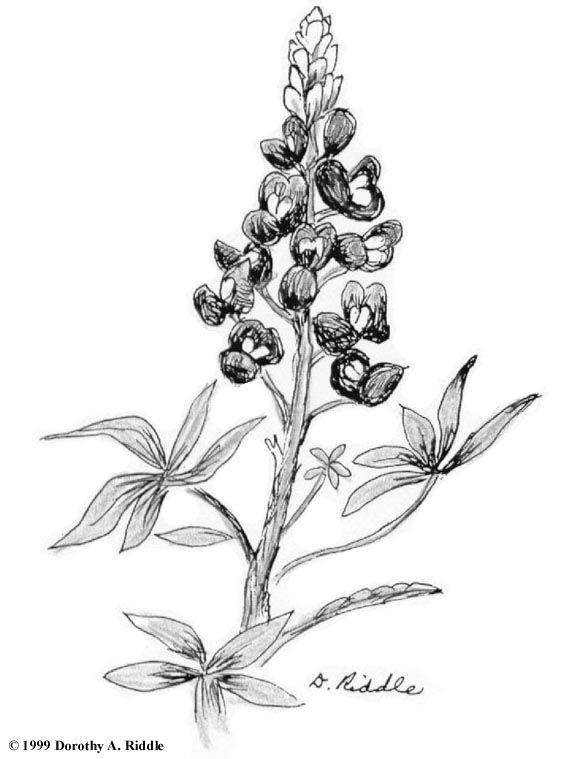 Simple Blue Bonnet Drawing Flower Sketches Bluebonnet Tattoo Wildflower Drawing