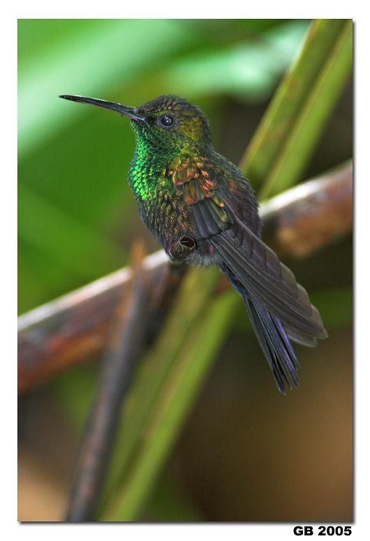 Birds | Red-Footed Plumeleteer