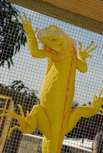 Albino Blue Iguana For Sale Pictures