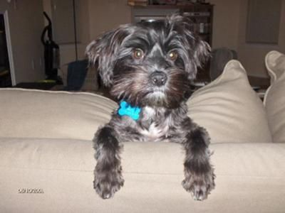 Nigel Is My Little Yorkie Maltese Mix Angel He Is 10 Months Old And
