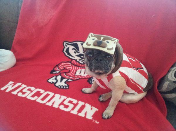 My Badger Pug Uwrightnow Uw Madison Pug Love Pugs