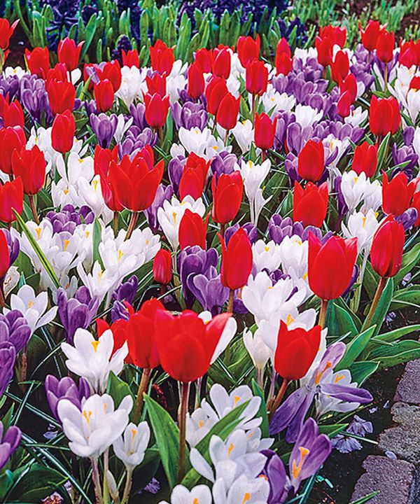 Spring Flowers And Yard Landscaping Ideas 20 Tulip Bed: Hearts Delight Tulips And Crocus Mixed
