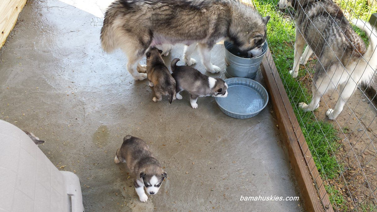 Lexi S Husky Puppies For Sale Husky Puppies For Sale Husky