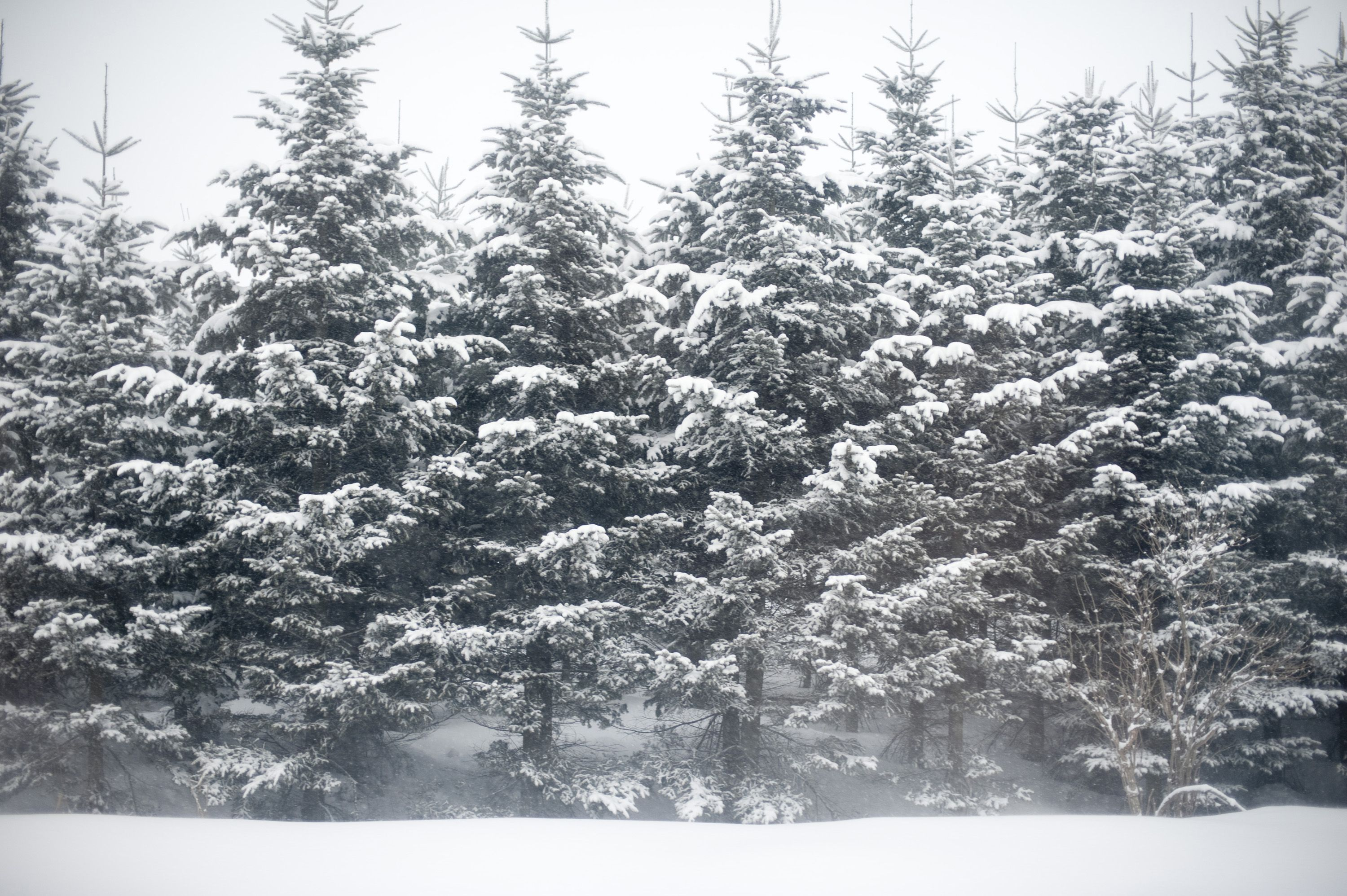 Pine trees in snow winter pine trees christmas images - Images of pine trees in snow ...