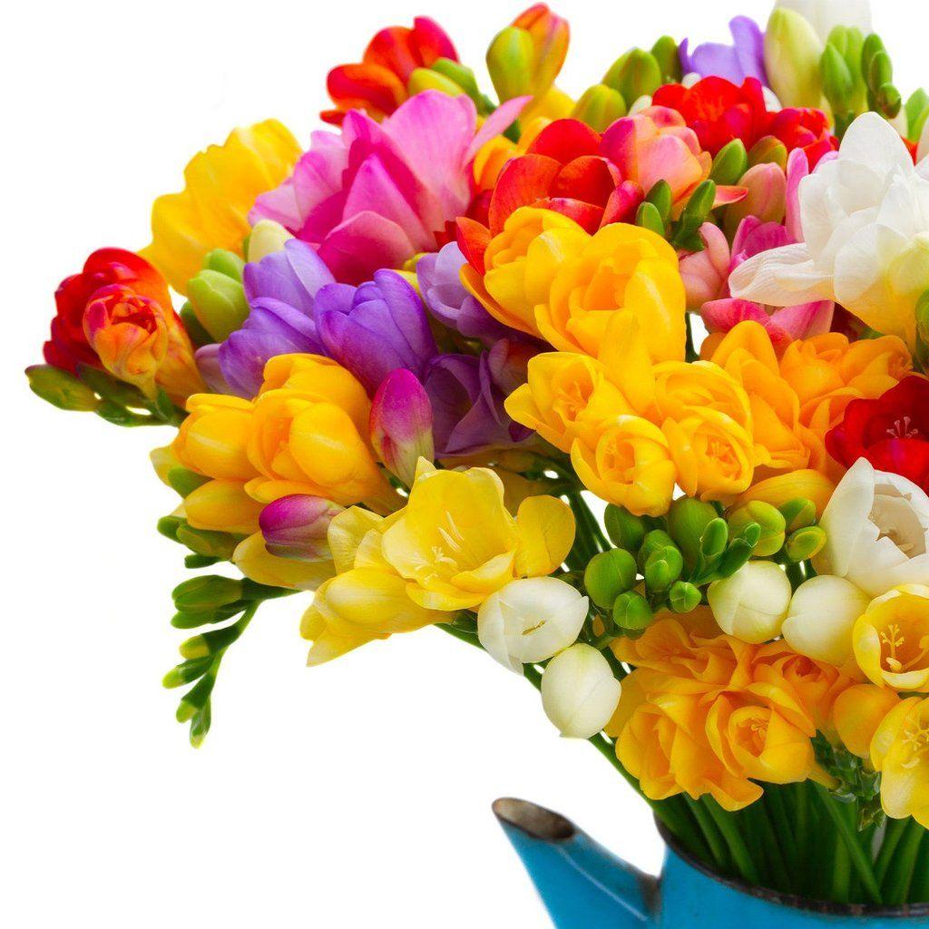 Allium Ampeloprasum Freesia Flowers Bulb Flowers Easy To Grow Bulbs